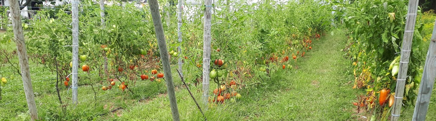 No-till heirloom paste tomatoes