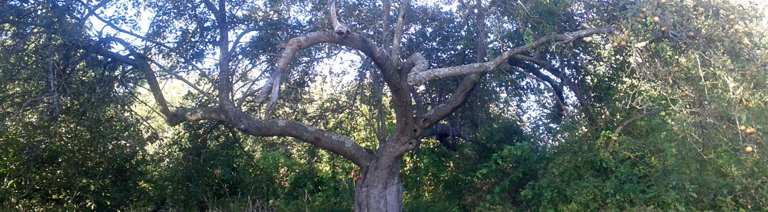 An old Golden Russet apple tree in the abandoned orchard